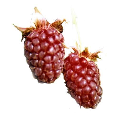 Логанова ягода фото