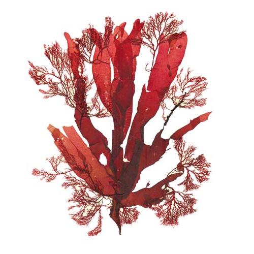 фотография Морских водорослей красных Водоросли Png